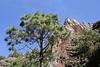 Pinus canariensis, near La Laja, 600m
