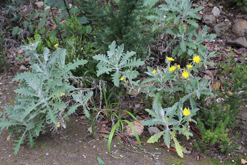 Andryala pinnatifida, forest of El Cedro, Barranco del Cedro
