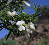 Chamaecytisus proliferus, Near Pavón, S of Chipude (M)