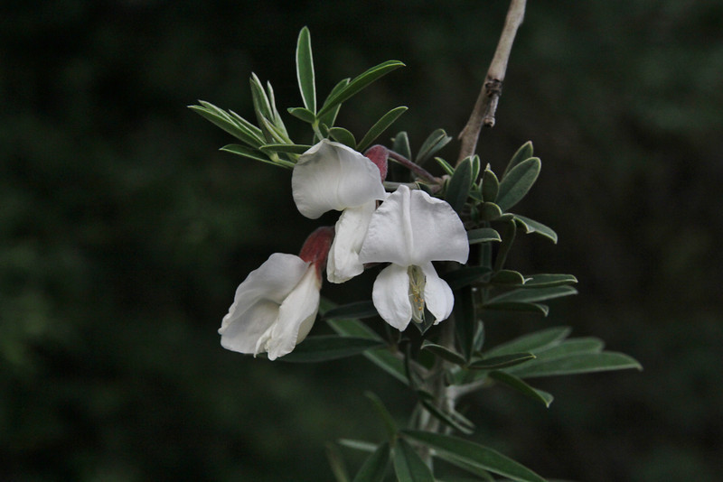 Chamaecytisus proliferus, 3km south of the mountain Eretos 1355m