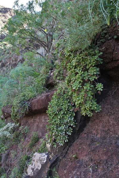 Aeonium viscatum, (sticky leaves), E of San Sabastian near Punta de La Vaca (F)