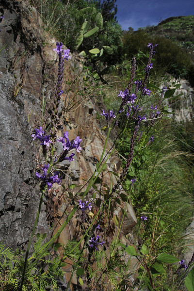 Lavandula canariensis, near Chejelipes