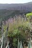 Lavandula canariensis, Los Quemados, San Sebastian to Hermigua,(Y)