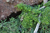 Rubia fruticosa, E of San Sabastian near Punta de La Vaca (F)