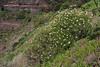 Argyranthemum frutescens, Los Quemados, San Sebastian - Hermigua,(Y)