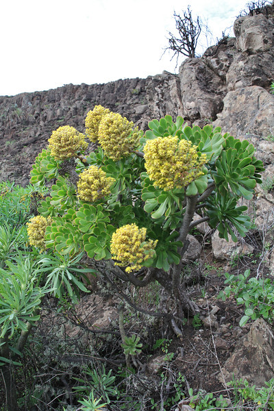 Aeonium holochrysum , 2km south of the mountain Eretos 1355m