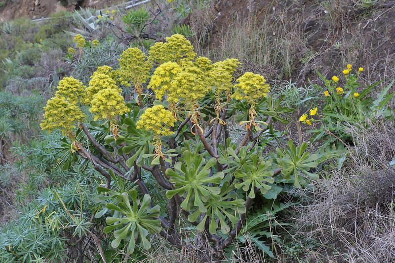 Aeonium holochrysum, El Convento, 2km S of La Hermigua (AA)