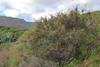 Launaea arborescens, Los Quemados, San Sebastian - Hermigua,(Y)