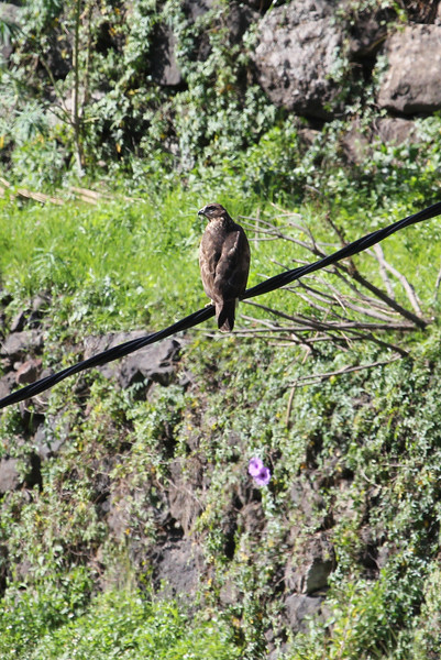 Buteo buteo insulatum, Canary island buzzard, (NL: Canarische buizerd), between Chejelipes and La Laja