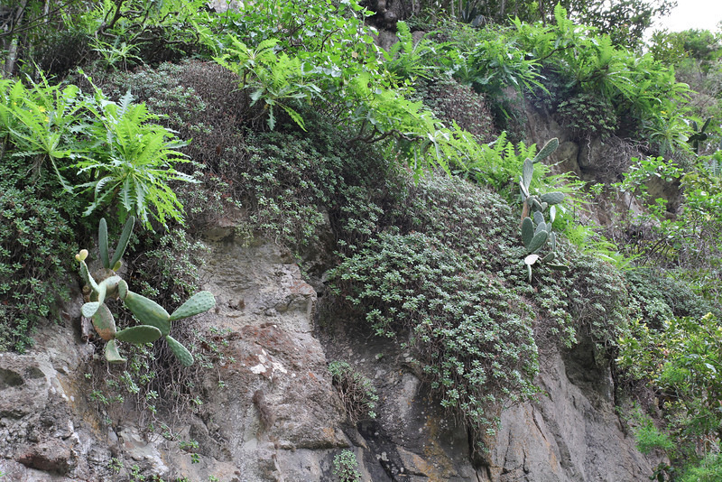 Aeonium viscatum and Sonchus gonzalez-padronii? Barranco Sobre, Agulo (X)