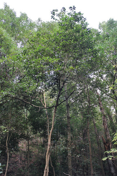 Viburnum rigidum, Primeval forest with 'Arboretum' Red de Equipamientos, 'Meriga' (nabij Los Aceyinos)