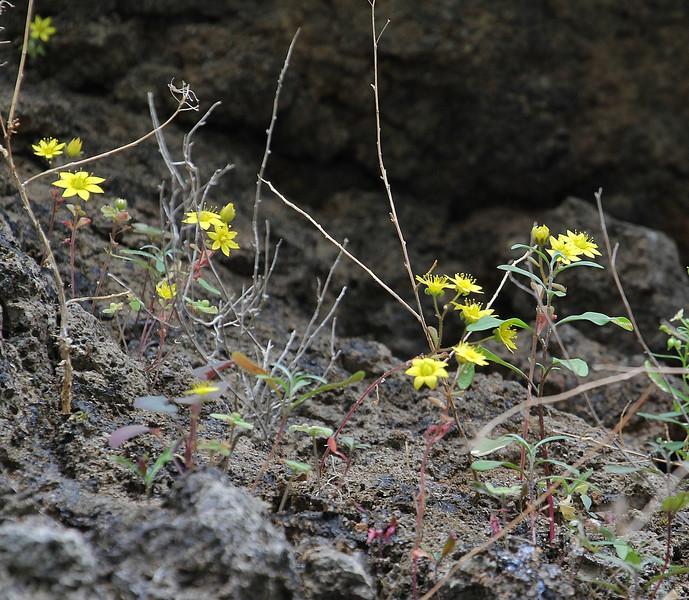 Aichryson punctatum, annual or biennial , Barranco de Cercado near Chejelipes