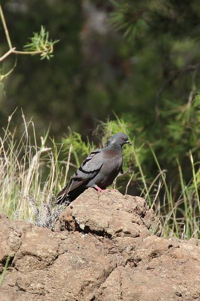 Columba livia, Rock dove, NE of Hermigua, 400m, 4x4 road N of Enchereda 1065m