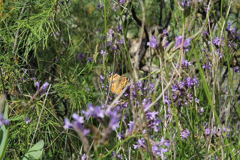 Vanessa cardui, (NL: Canarische distelvlinder) on Lavandula canariensis, Los Quemados, San Sebastian to Hermigua,(Y)