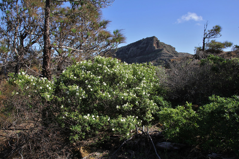 Cistus monspeliensis  and Pinus canariensis, Valle Abajo, 620m, 4x4 road E of Enchereda 1065m(background)