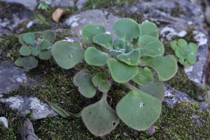 Aichryson palmense, near the well/spring, Chorros de Epina, Epina (Q)