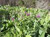 Echium plantagineum, Palo Atravesado 600m, 4x4 road NE of Enchereda 1065m