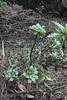 Aichryson pachycaulon ssp. gonzalez-hernandezii, Lomo blanco