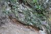 Greenovia diplocycla, near the well/spring, Chorros de Epina, Epina (Q)