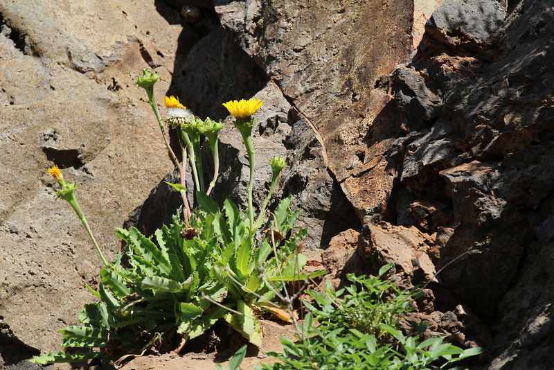 Reichardia crystallina (alleen Tenerife genoemd, R. lingulata wel van La Gomera bekend), E of San Sabastian near Punta de La Vaca (F)