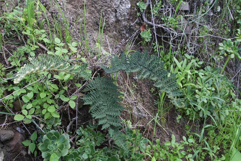 Cheilanthes marantae ssp. subcorda, NE of Hermigua, 400m, 4x4 road N of Enchereda 1065m