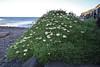 Argyranthemum ?, Playa de la Caleta, Atlantic Ocean