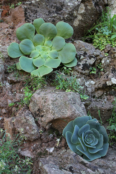 Aeonium subplanum and below Greenovia diplocycla, Barranco de Matanza between Valle Gran Rey and El Cercado (N)