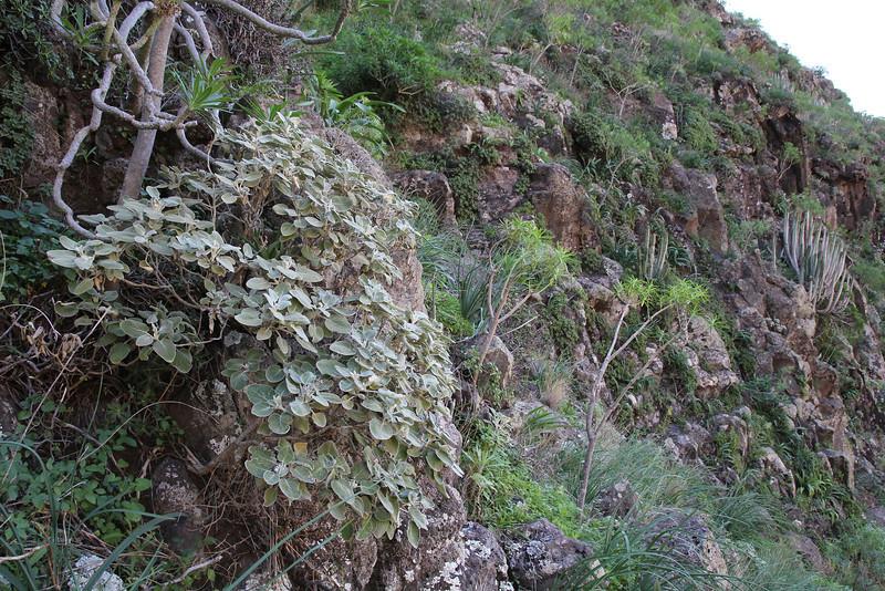 Sideritis spicata, E of San Sabastian near Punta de La Vaca (F)