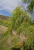 Plocama pendula, Loma del Carmello, SW of San Sebastian (J)