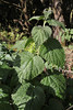 Urtica morifolia ?, near border NP, E of Garajonay 1487m