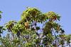 Arbutus canariensis, near Juege de Bolas Centro de Vistantes in Hormigua (V)