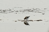 Calidris minuta, (NL: Kleine strandloper), Salobrar de Campo (MA6040)