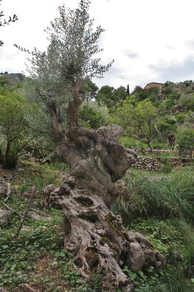 Olea europaea along the road Cala de Sa Calobra-Sóller