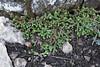 Selaginella denticulata, Puig de Galatzo 1026m