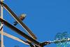 Falco tinnunculus (NL: torenvalk)