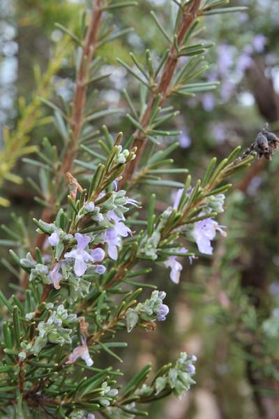 Rosmarinus officinalis, Parque Natural Mondrago
