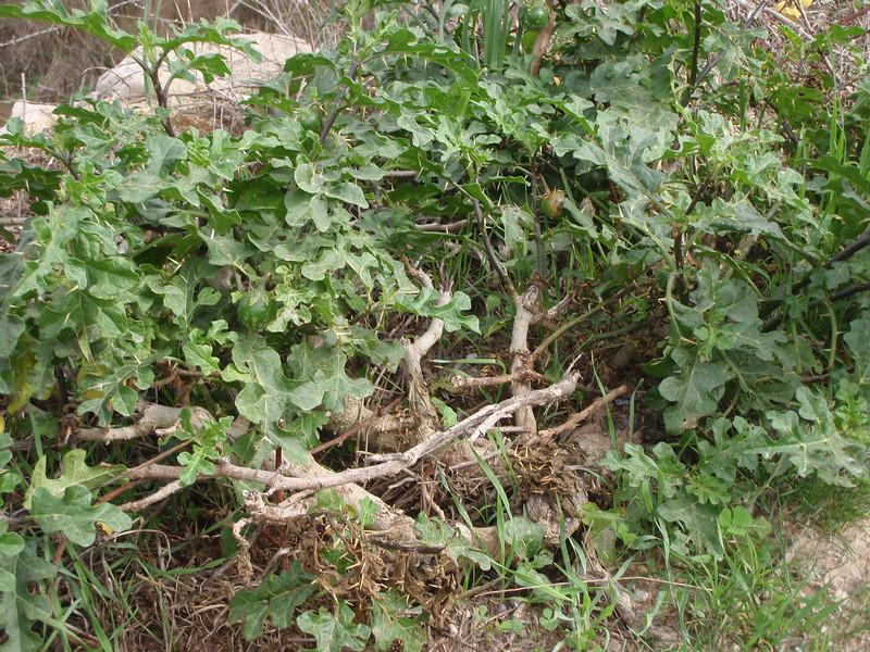 Solanum linnaeanum, syn. Solanum sodomeum Native to S. Africa, North of Felanitx