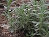 Teucrium dunense  , Salobrar de Campo (MA6040)
