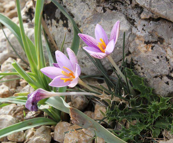 Crocus cambessedesii, Masanella 1365m
