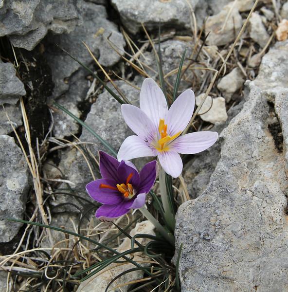 Crocus cambessedesii, colour variation, Masanella 1365m