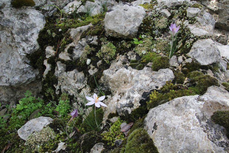 Crocus cambessedesii, Recreation Area Memut 2, 500m E of Memut Binifaldo, Serra de Tramuntana, ca 1000m.
