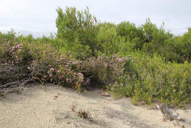 Erica multiflora, Parque Natural de s'Albufera de Mallorca