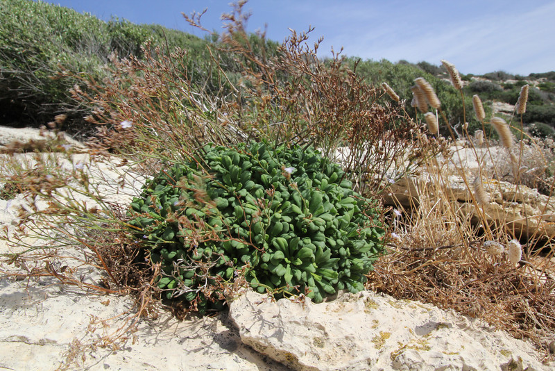 Limonium dragonericum, endemic, near Cap Llebeitx, Island, Parc Naturel de sa Dragonera