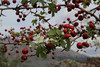 Crataegus monogyna, Viewpoint, E of junction to Cala de sa Calobra ca 500m