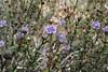 Globularia apylum, Island, Parc Naturel de sa Dragonera, Liedó-des Liebeig