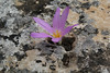 Colchicum filifolium (syn. Merendera filifolia), Song Gual ca 100m near MA15