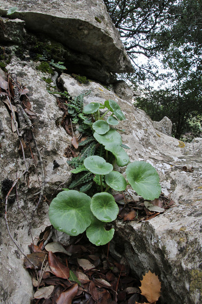 Umbilicus rupestris,  Recreation Area Memut 2, 500m E of Memut Binifaldo, Serra de Tramuntana, ca 1000m.