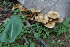 Arum pictum and Lactarius spec. near viewpoint, E of junction to Cala de sa Calobra, ca 600m