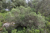 Daphne gnidium, Recreation Area Memut 2, 500m E of Memut Binifaldo, Serra de Tramuntana, ca 1000m.