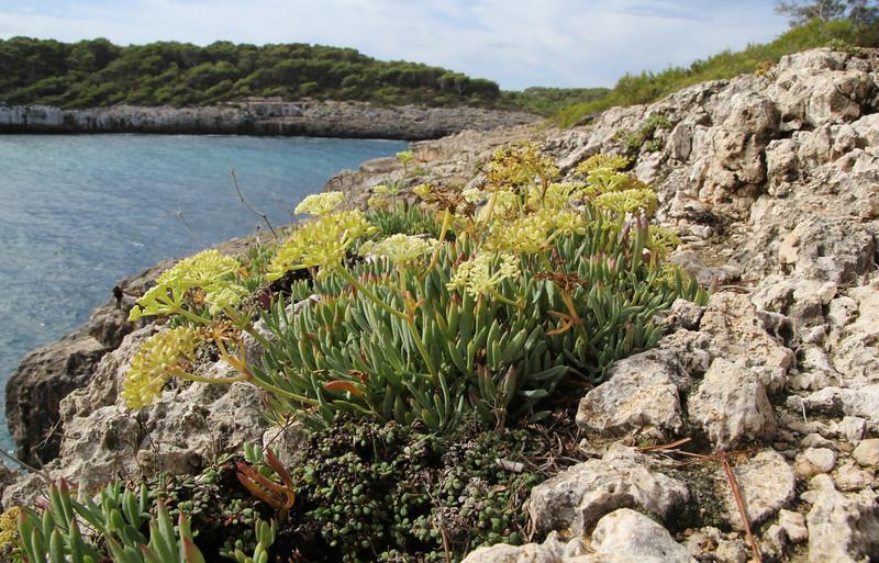 Crithmum maritimum, Parque Natural Mondragó